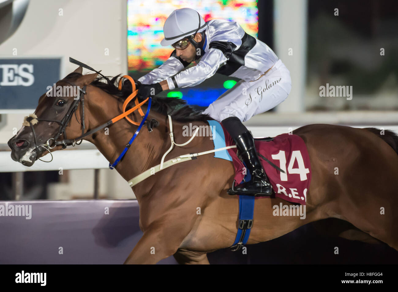 DOHA, QATAR - November 3rd 2016 Qatar Racing and Equestrian Club. Saleem Golam riding Words of a Prophet during - Stock Image