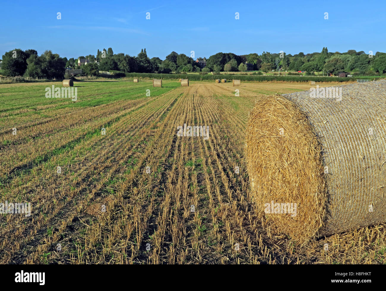 Late summer hay bales in a field, Moore, Warrington, Cheshire, England, UK - Stock Image