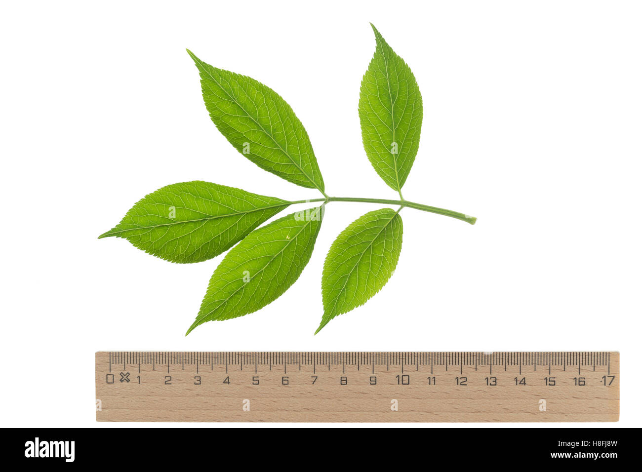Schwarzer Holunder, Sambucus nigra, Fliederbeeren, Fliederbeere, Common Elder, Elderberry, Sureau commun, Sureau - Stock Image
