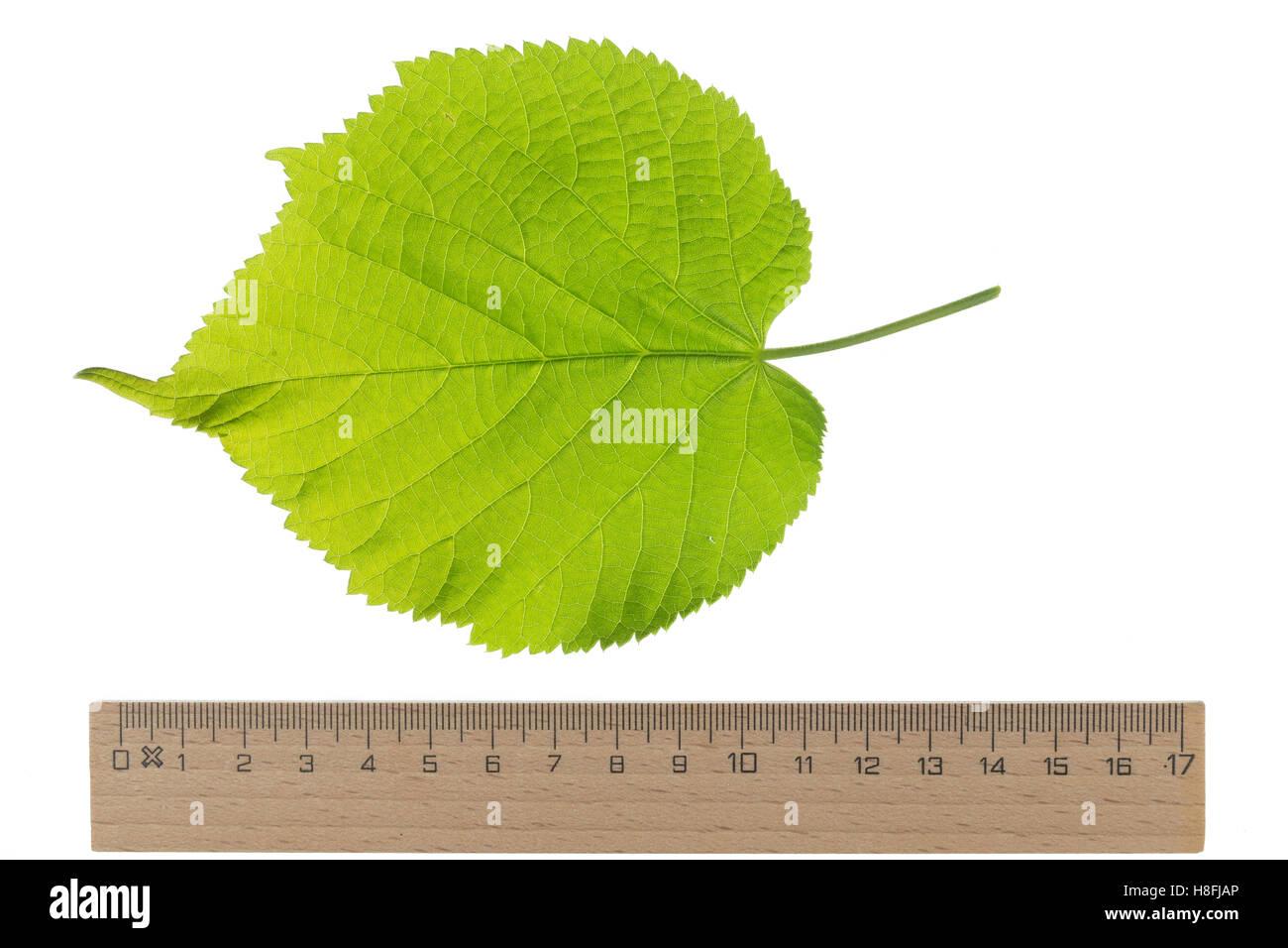 Sommer-Linde, Sommerlinde, Linde, Tilia platyphyllos, Tilia grandifolia, large-leaved lime, Large Leaved Lime, largeleaf Stock Photo
