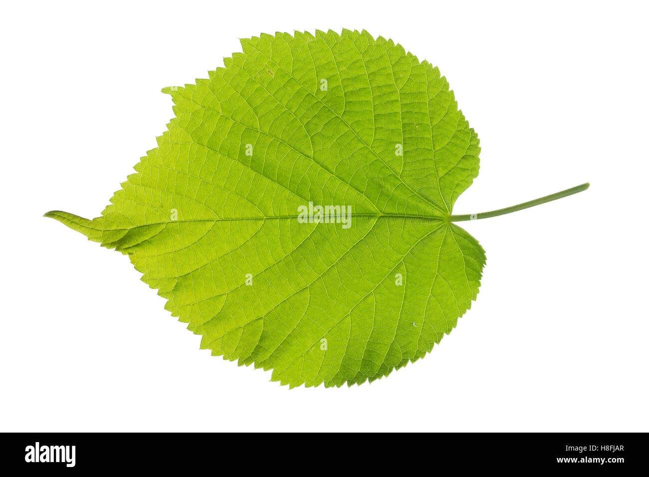 Sommer-Linde, Sommerlinde, Linde, Tilia platyphyllos, Tilia grandifolia, large-leaved lime, Large Leaved Lime, largeleaf Stock Photo