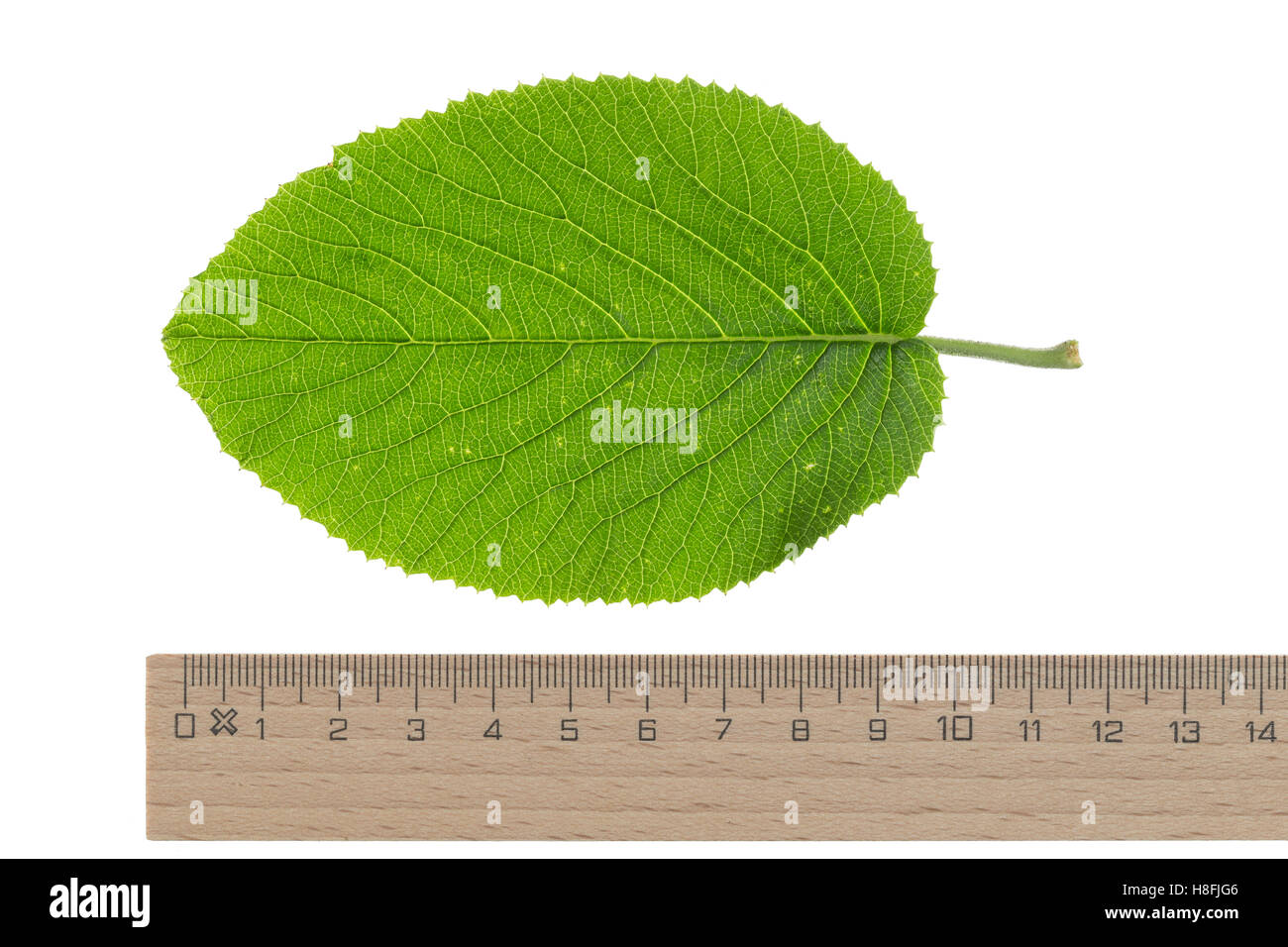 Wolliger Schneeball, Schnee-Ball, Viburnum lantana, Wayfaring Tree, Mansienne, Viorne lantane. Blatt, Blätter, - Stock Image