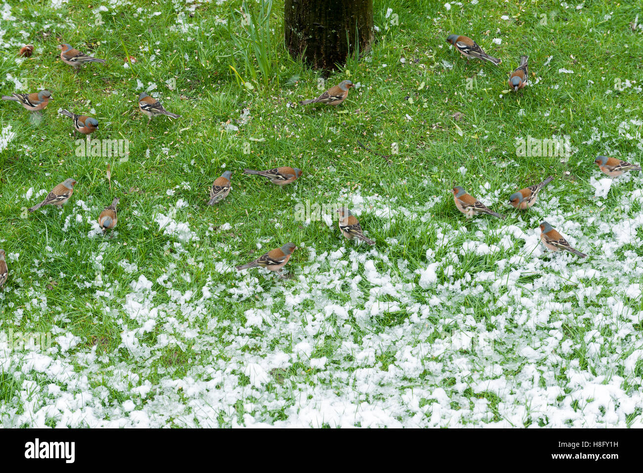 Chaffinches are pecking birdseed on snowy turf, Fringilla coelebs - Stock Image