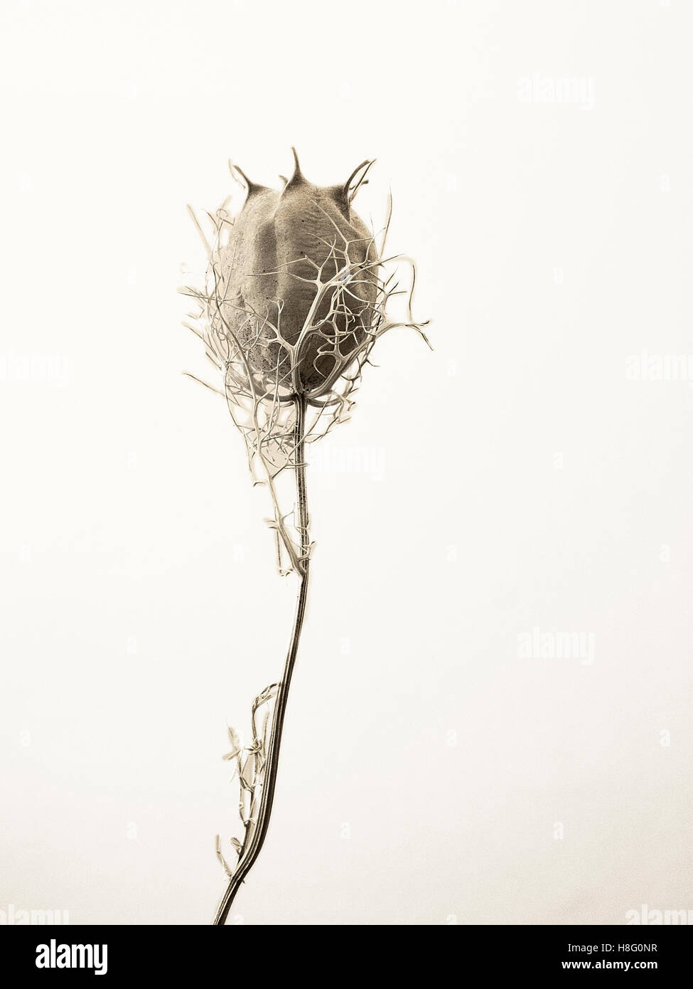 Aesthetic, dried plant in black and white, cut out in front of a neutral backround Stock Photo