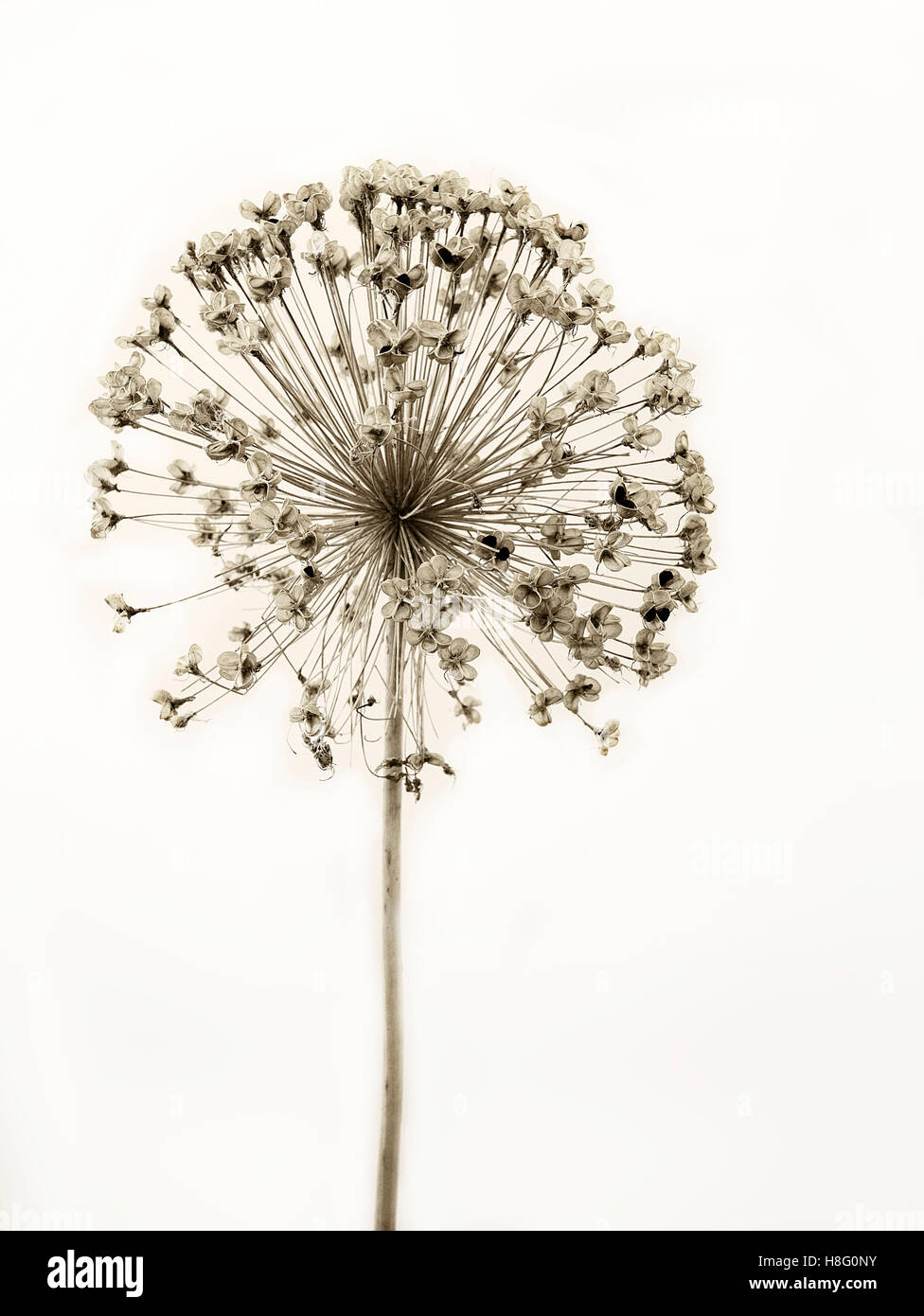 Aesthetic, dried ornamental onion in black and white, cut out in front of a neutral backround Stock Photo