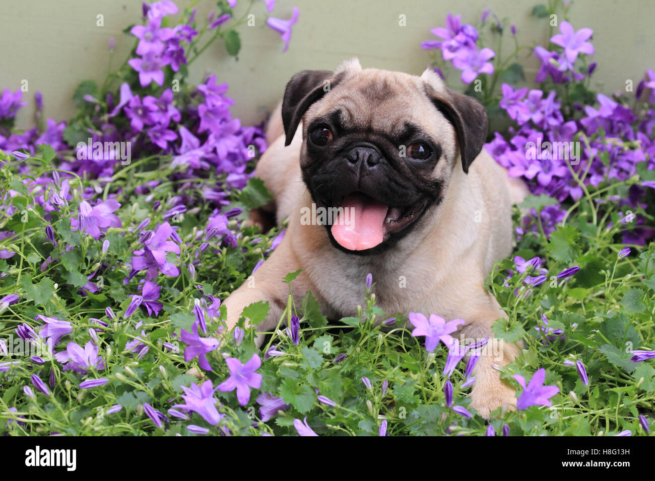 Pug lies between flowers, Canis lupus familiaris Stock Photo