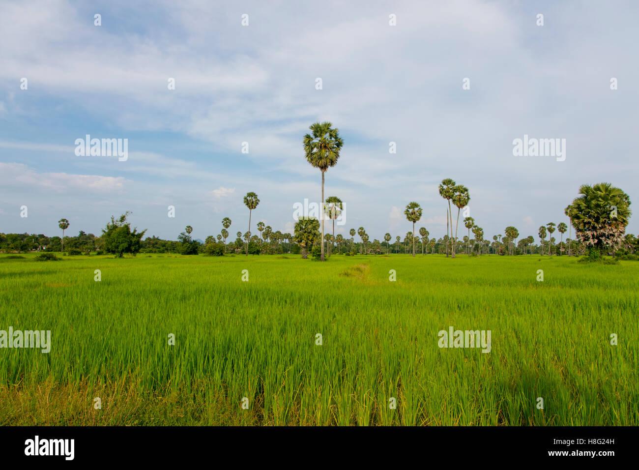 Rice Field, Kamphong Chhnang, Tonle Sap River,  Cambodia - Stock Image