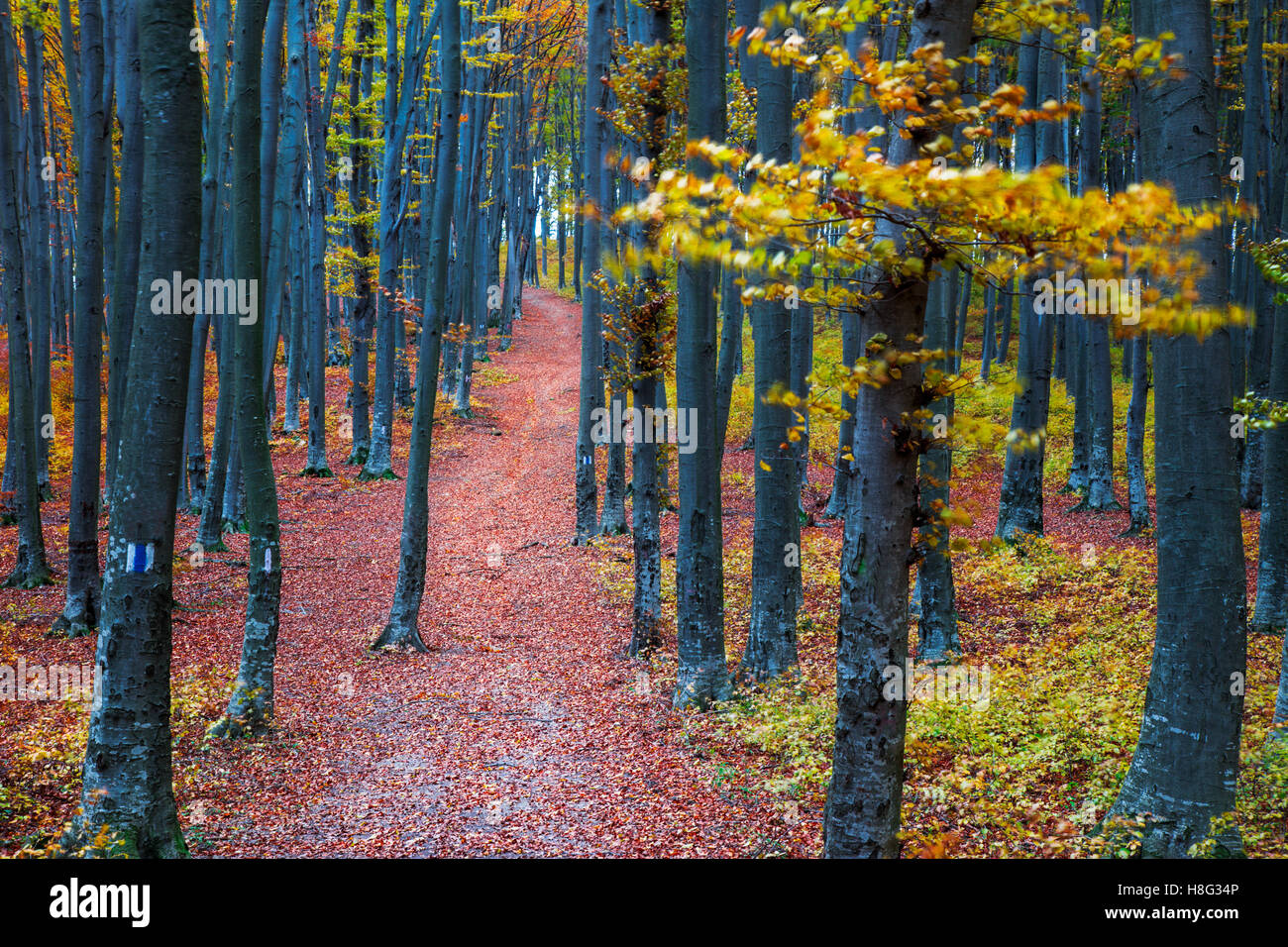 Path through the forest in late autumn season - Stock Image