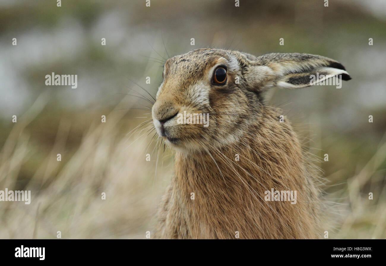 A Brown Hare (Lepus europaeus) headshot. Stock Photo
