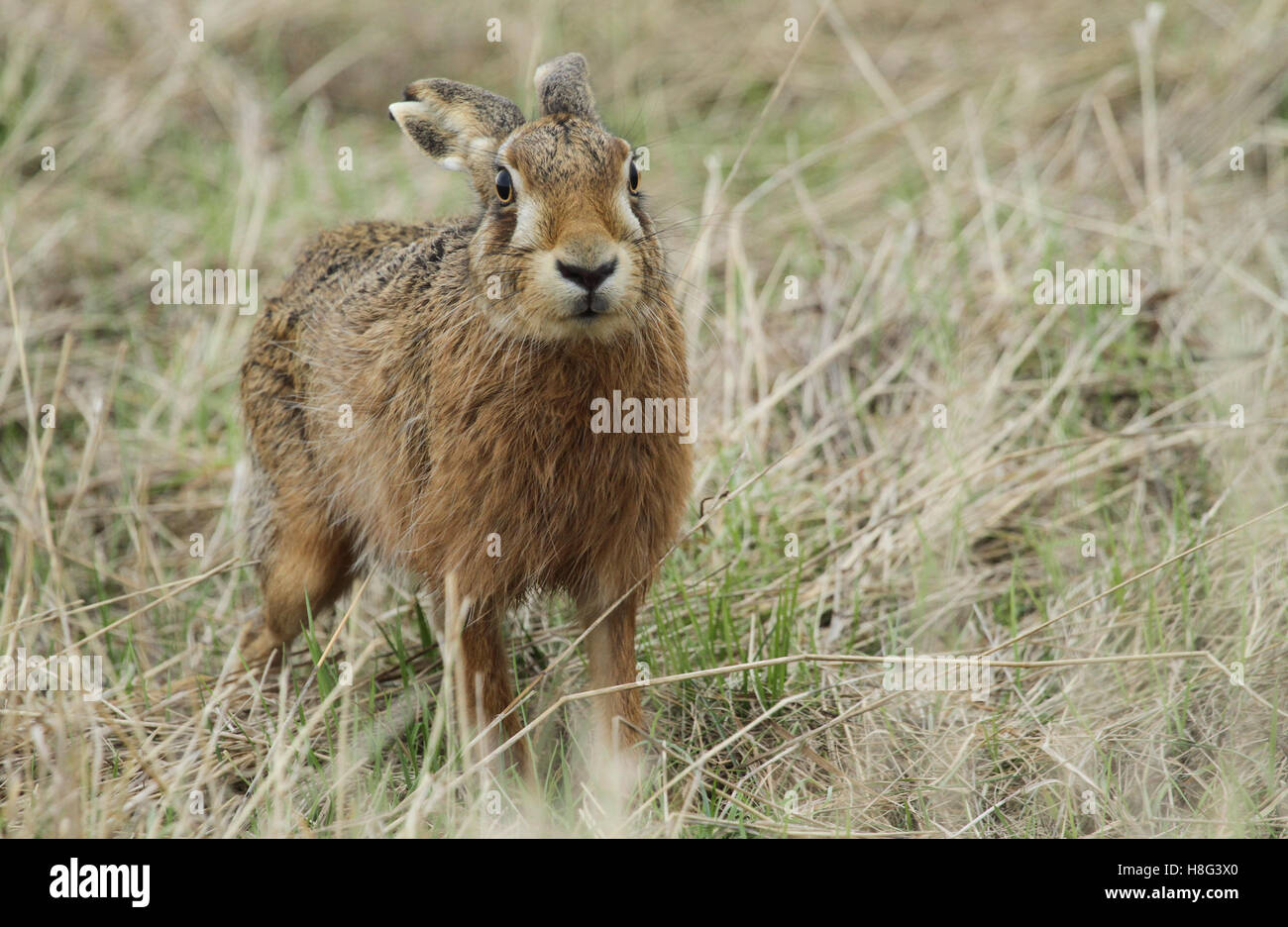 A Brown Hare (Lepus europaeus) standing in a field of long grass. - Stock Image