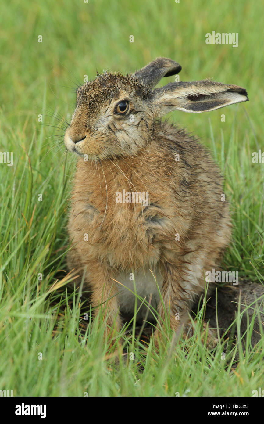 A wet Brown Hare (Lepus europaeus) leveret sitting in a field in the rain. - Stock Image