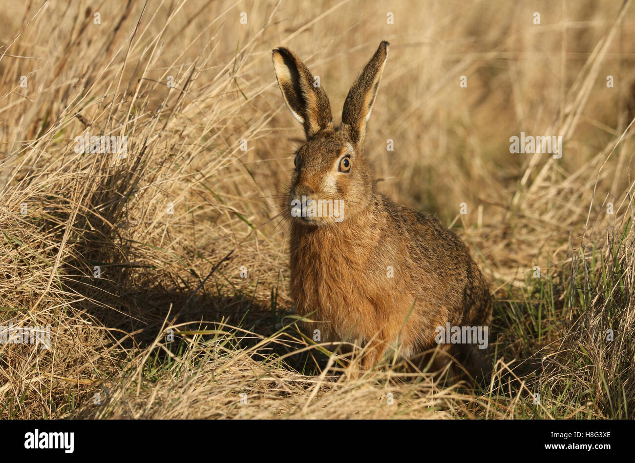 A Brown Hare (Lepus europaeus) siting in grassland. - Stock Image