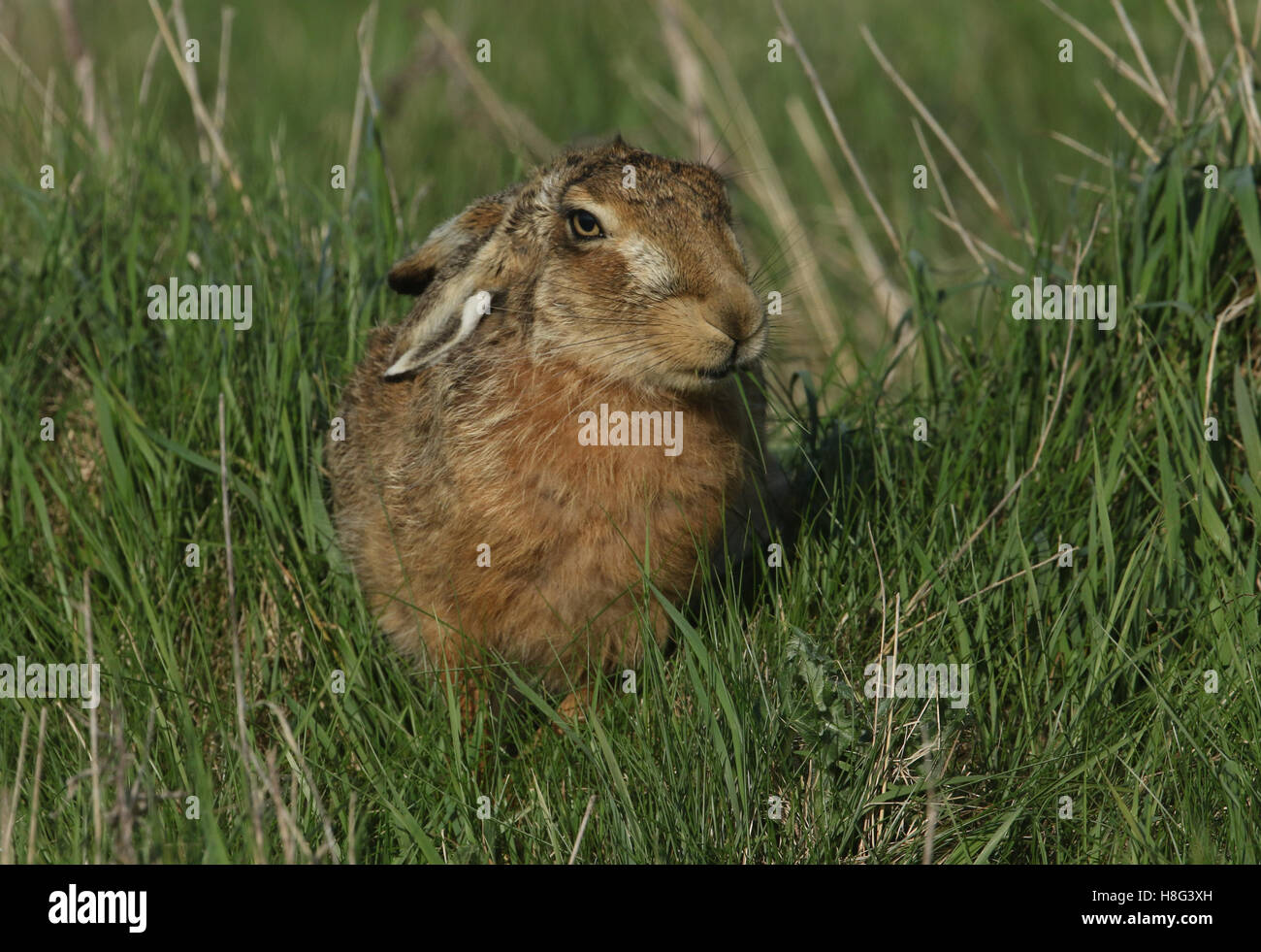 A Brown Hare (Lepus europaeus) eating grass. - Stock Image