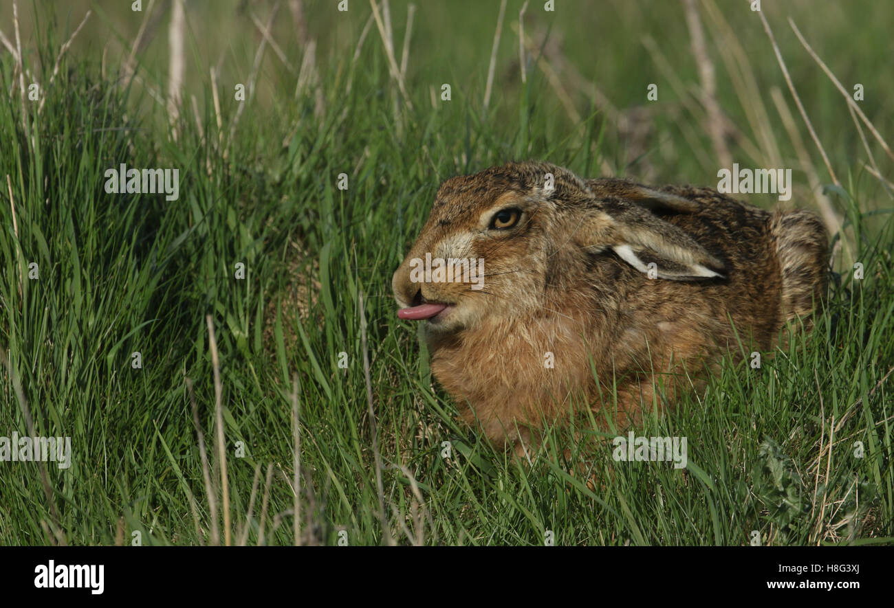 A Brown Hare (Lepus europaeus) laying in the long grass poking out its tongue. - Stock Image