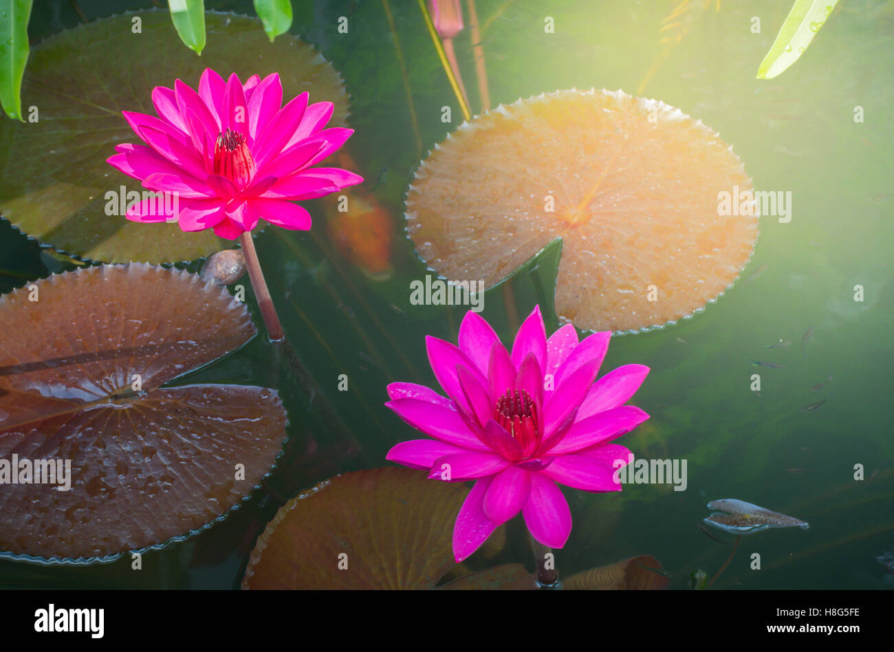 Close Up Photo Of Bright Pink Colour Twin Lotus Blossom Or Water
