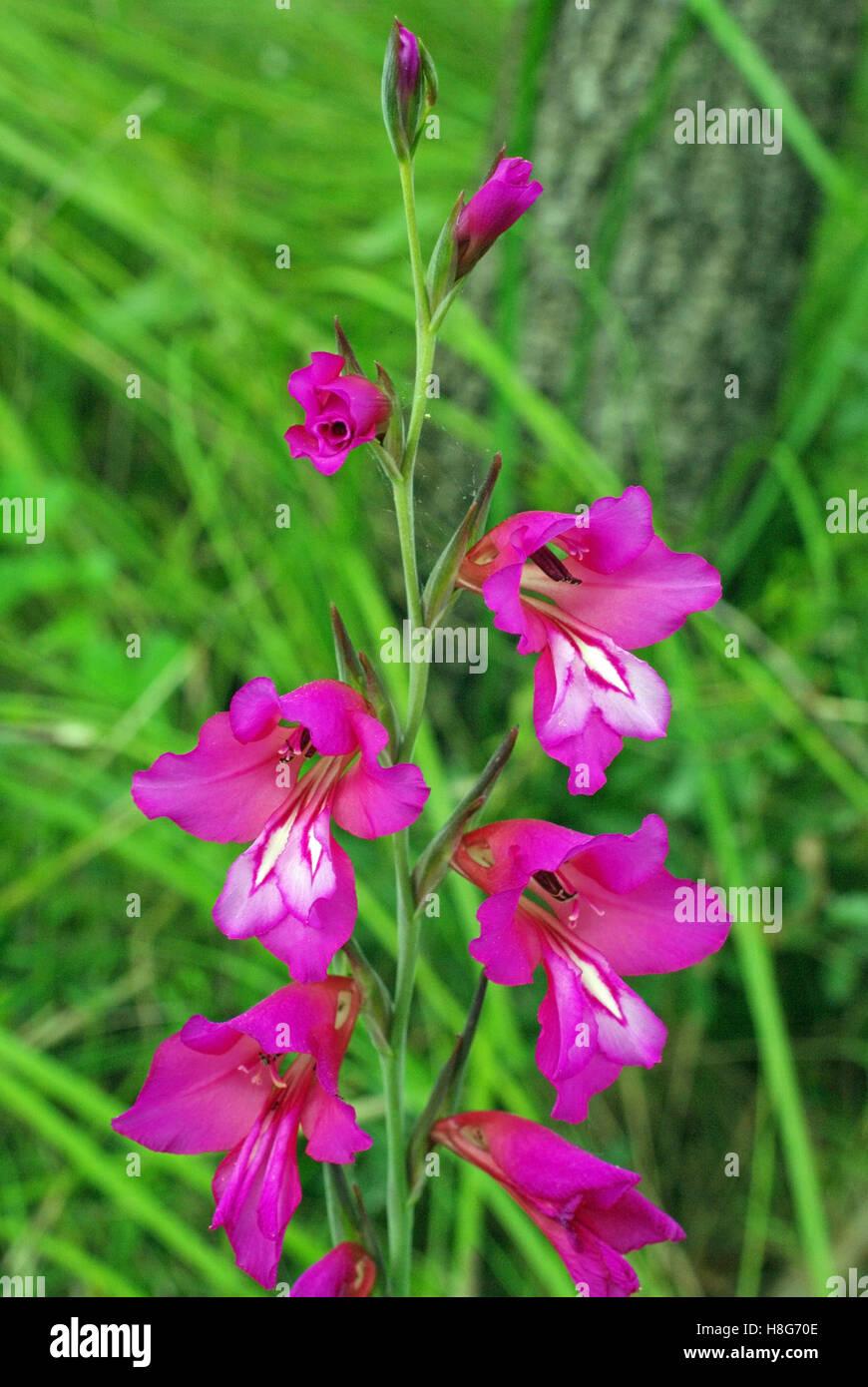 The wildflower Gladiolus italicus, the Italian gladiolus, a member of the Iris family (Iridaceae) - Stock Image