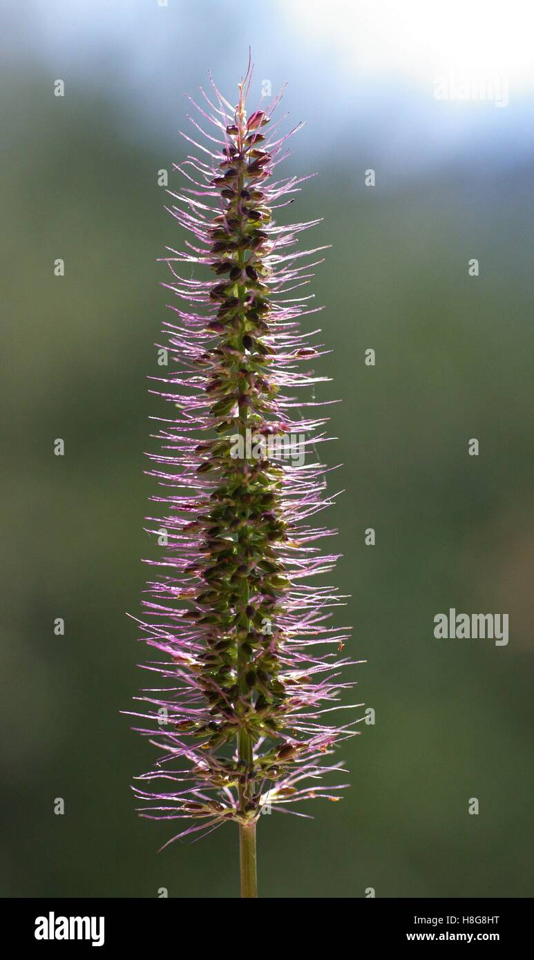 This is Setaria adhaerens, the Bur Bristlegrass, from the family Poaceae - Stock Image