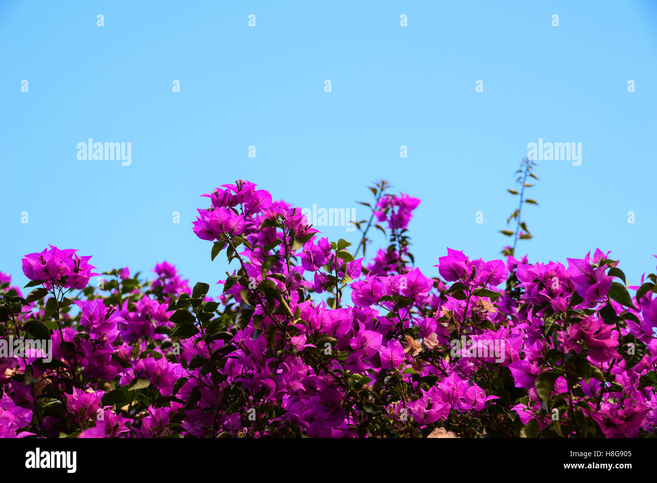 Bougainvillea against blue sky - Stock Image