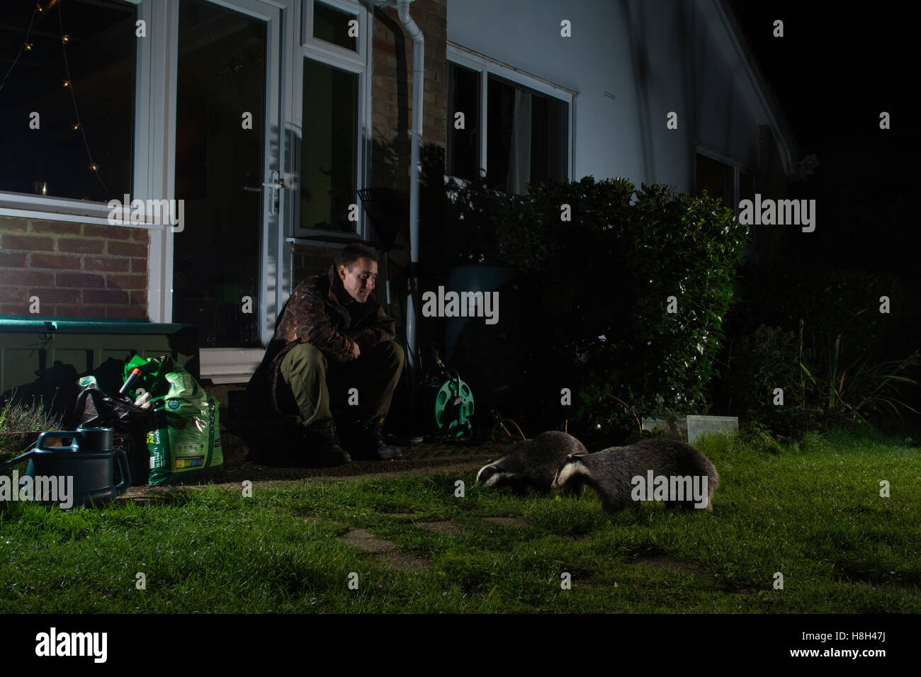 a man enjoying a close encounter with badgers in his garden at night, Hastings, East Sussex, UK - Stock Image