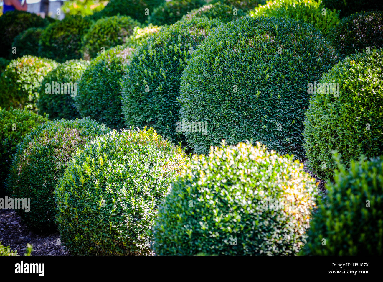 Boxwood   Green Garden Balls In France, Amboise Gardens