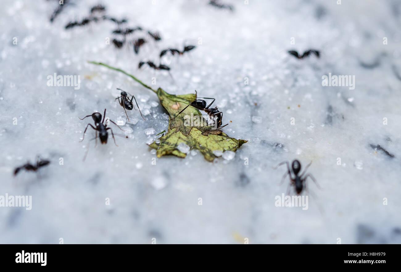 Sugar Ants Stock Photos & Sugar Ants Stock Images - Alamy