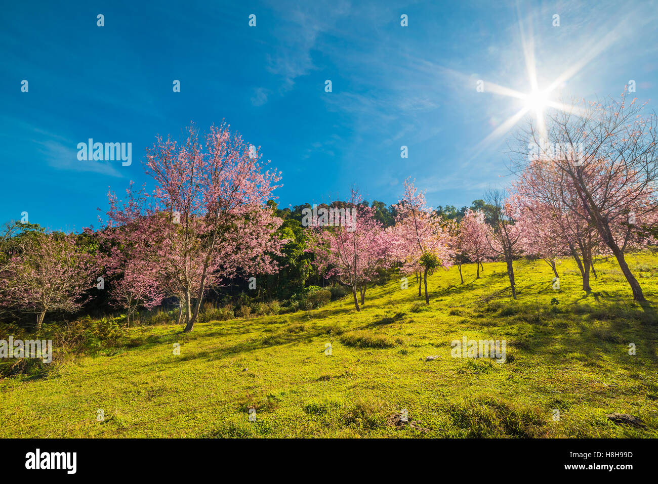 Wild Himalayan Cherry flower (Prunus cerasoides),Giant tiger flower in Thailand. - Stock Image