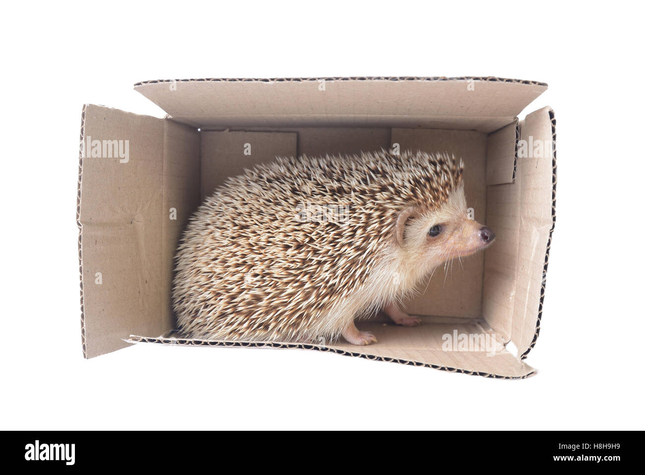 Hedgehog standing in brown paper box on white background. Stock Photo