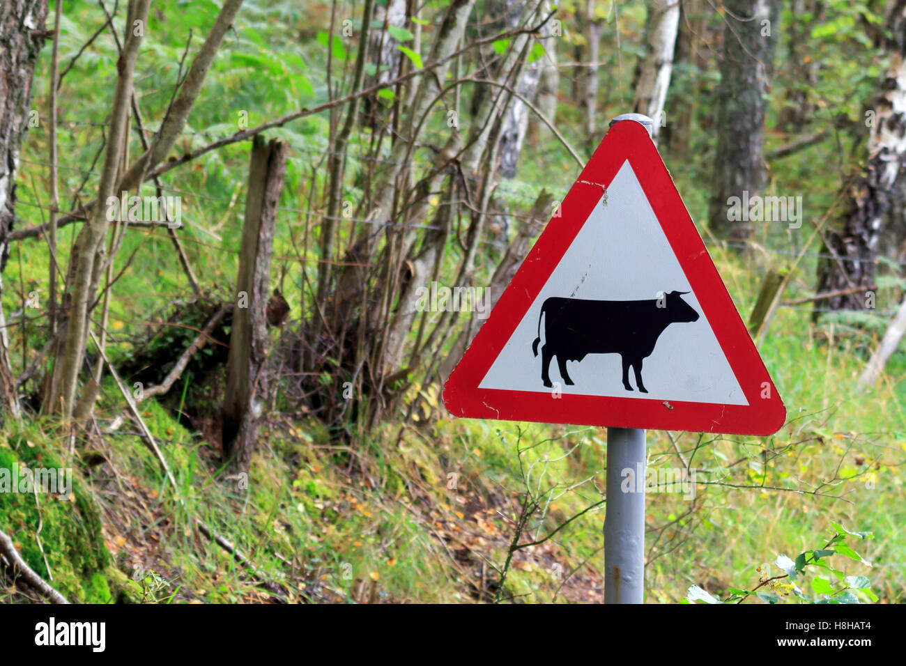 Triangular red and white road sign advising Beware of Cattle on the road - Stock Image