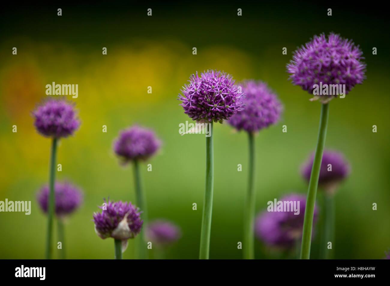 Onions flowers Stock Photo