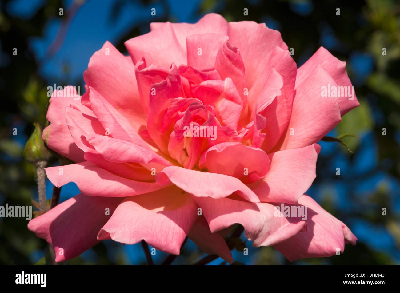 Hybrid tea rose Rosa 'Rosy Mantle'.  London, UK - Stock Image