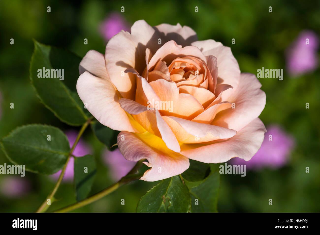 Hybrid tea rose Rosa 'Saga'. UK. - Stock Image
