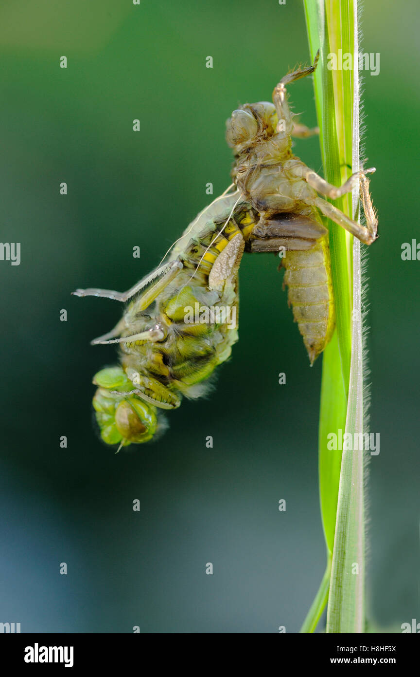 Dragonfly emerging from larval case - Stock Image