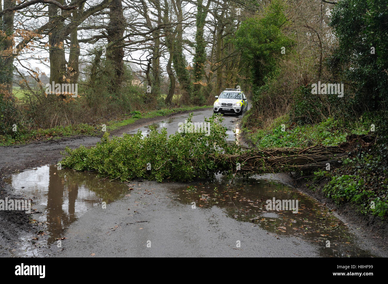 Fallen tree blown over by high winds and approaching police car Stock Photo