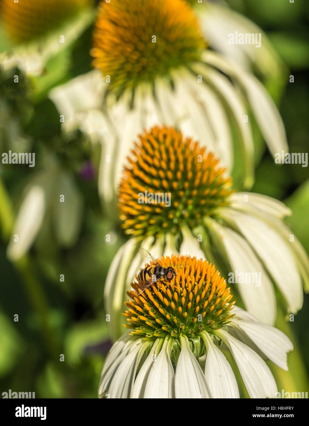 Hoverflies, sometimes called flower flies, or syrphid flies, make up the insect family Syrphidae - Stock Image