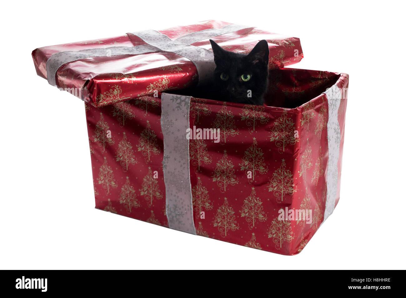 Black cat inside a christmas present box peeking - Stock Image