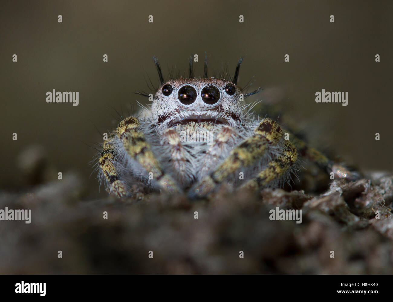 JUMPING SPIDER (Phidippus sp.) Otter Springs, Florida, USA - Stock Image