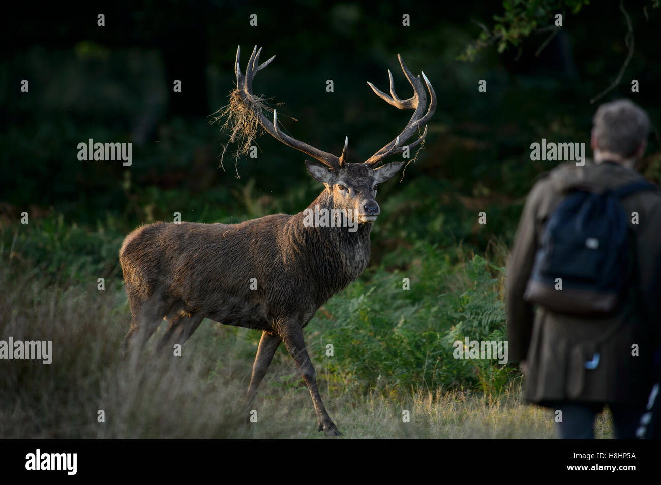 Red deer stag in Richmond Park, London, with offensive behavior towards a tourist walking too close - Stock Image