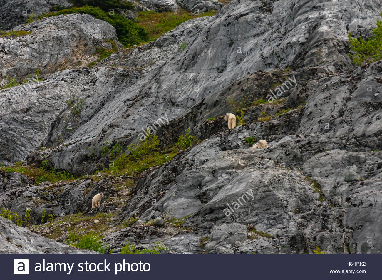 Mountain foats on cliffs, Glacier Bay National Park, southeast Alaska USA. It is a UNESCO Wolrd Heritage Site. - Stock Image