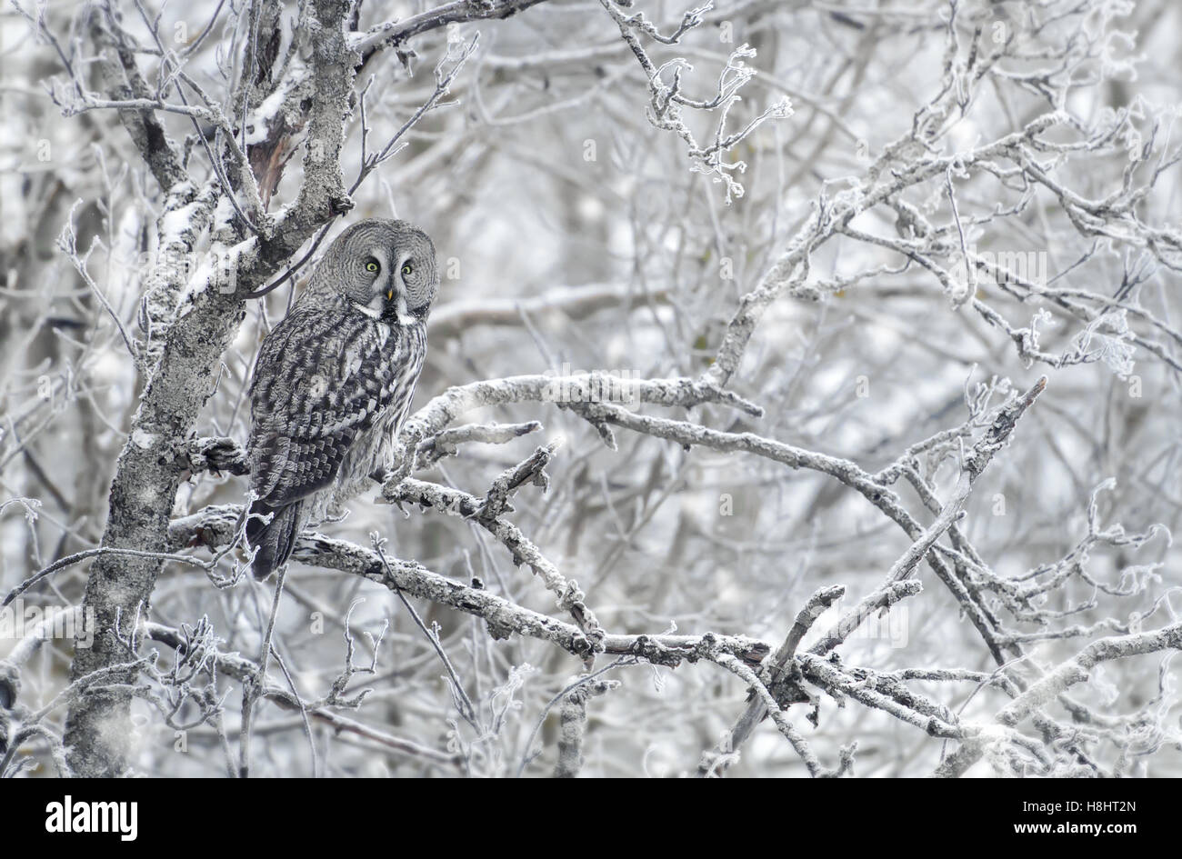 Great Grey Owl in winter - Stock Image