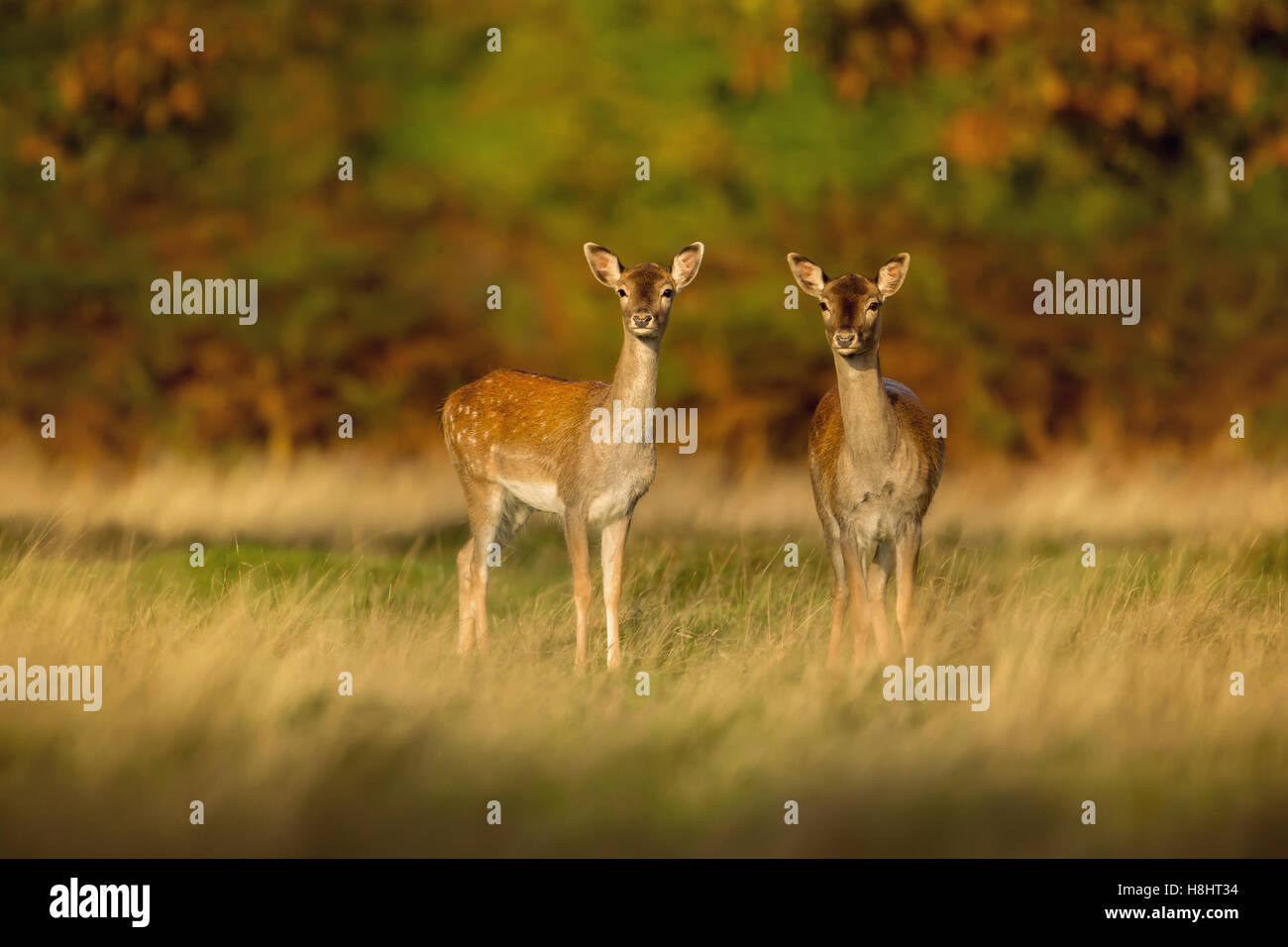 Two young Fallow deer - Stock Image