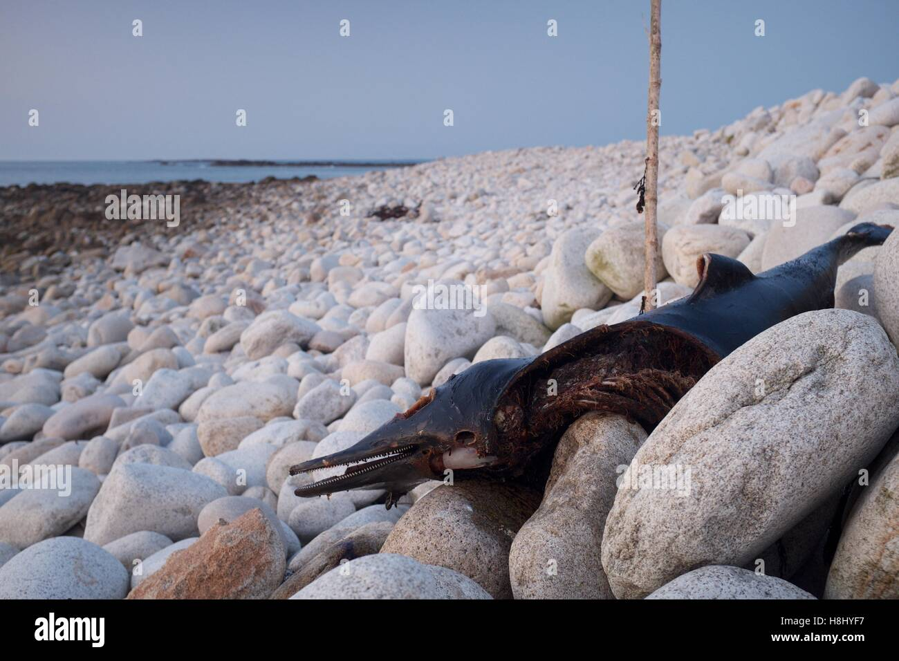 Dead cetacean washed ashore, Brittany - Stock Image
