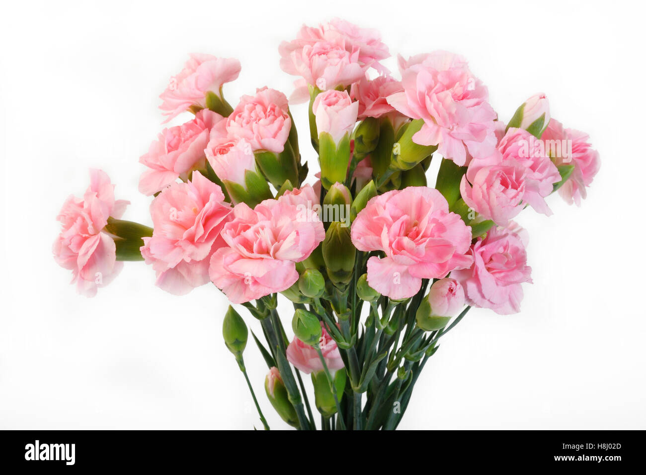 pink carnation flowers on white background - Stock Image