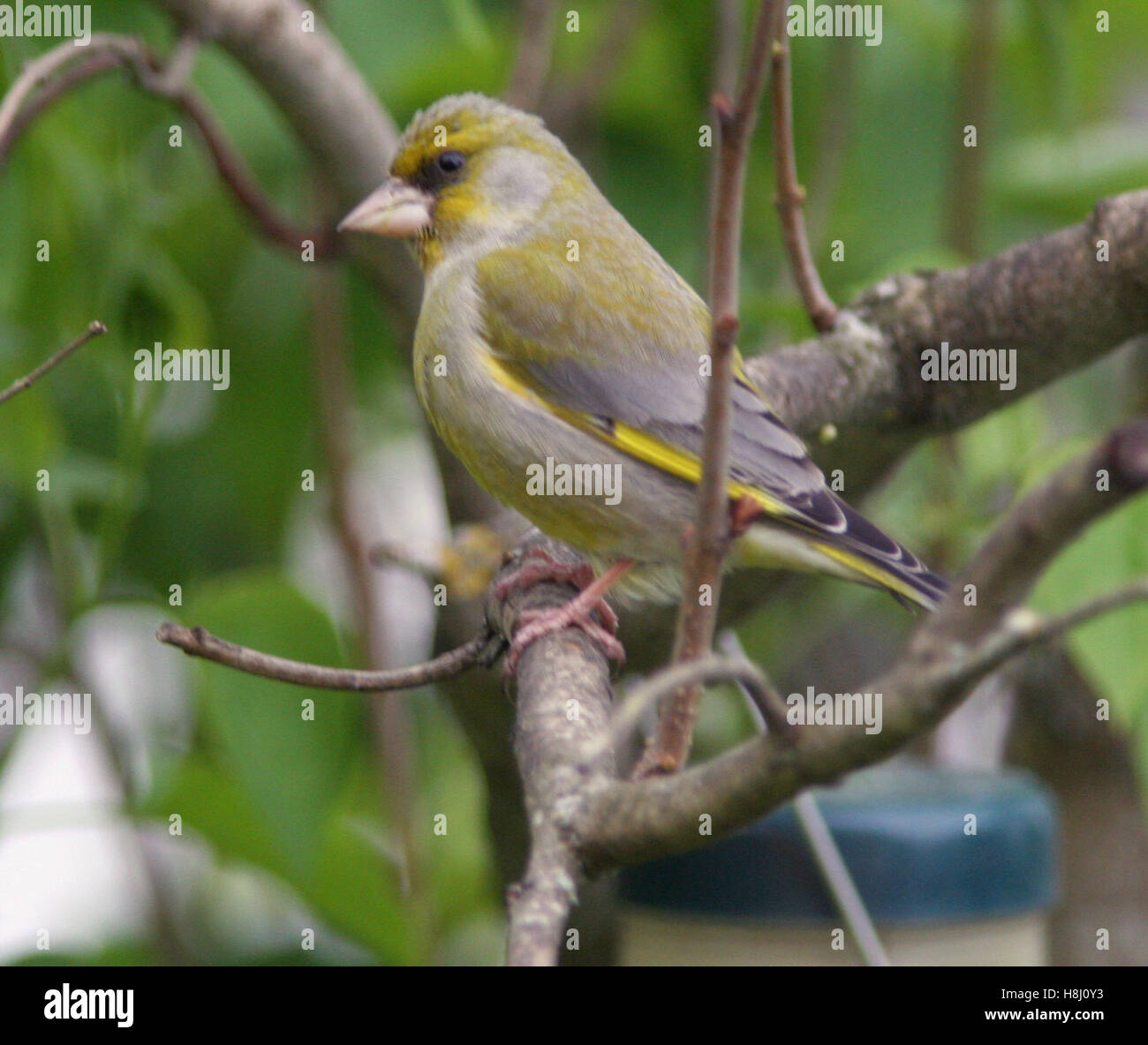 GREEN FINCHES at a branch - Stock Image