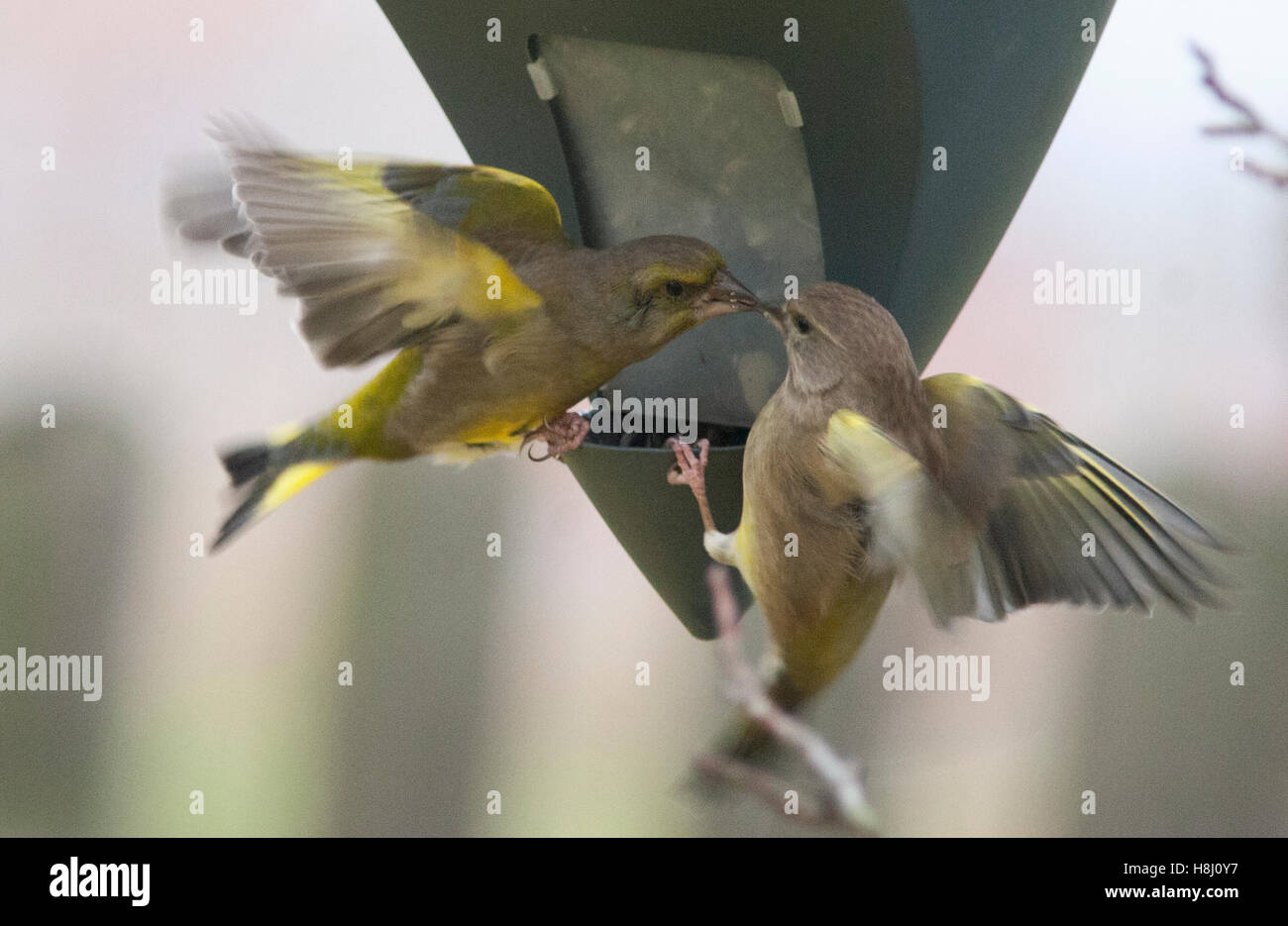GREEN FINCHES at feed machine - Stock Image