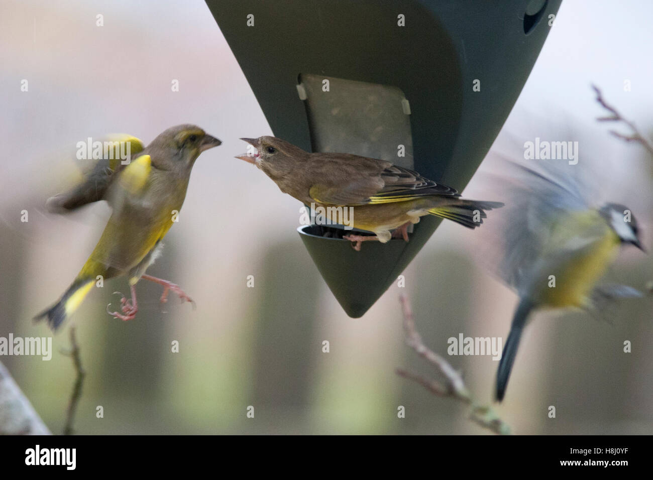 GREEN FINCHES at feed machine Stock Photo