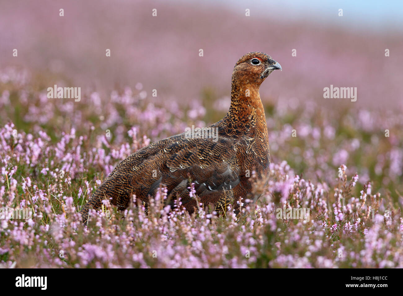 Red Grouse Lagopus lagopus scotica adult male - Stock Image