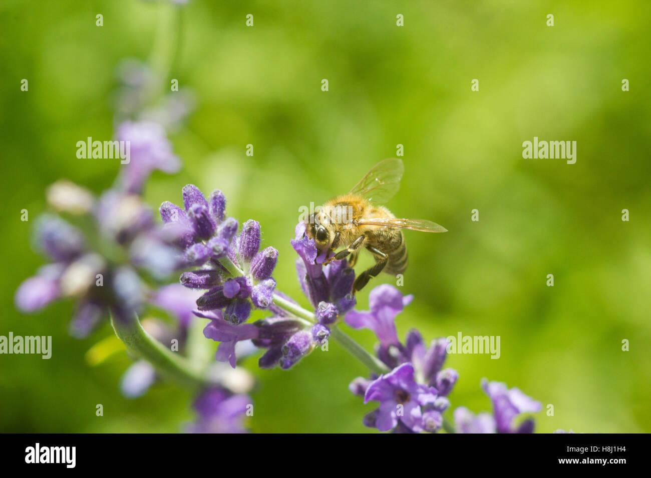 Honeybee on lavender flower macro closeup - Stock Image