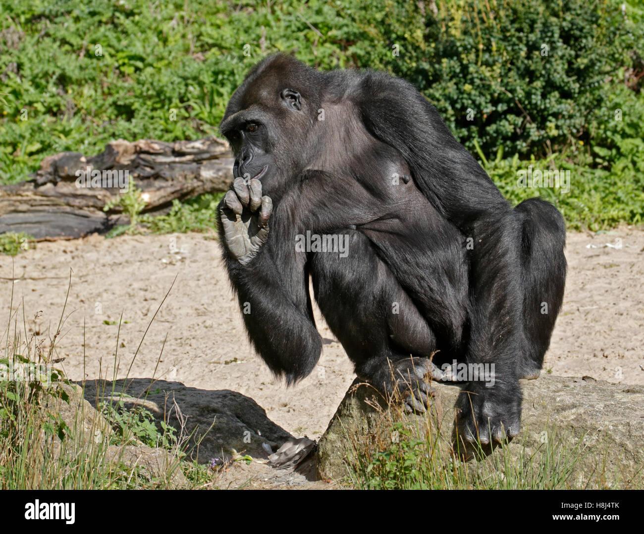 Western Lowland Gorilla (gorilla gorilla gorilla) - Stock Image