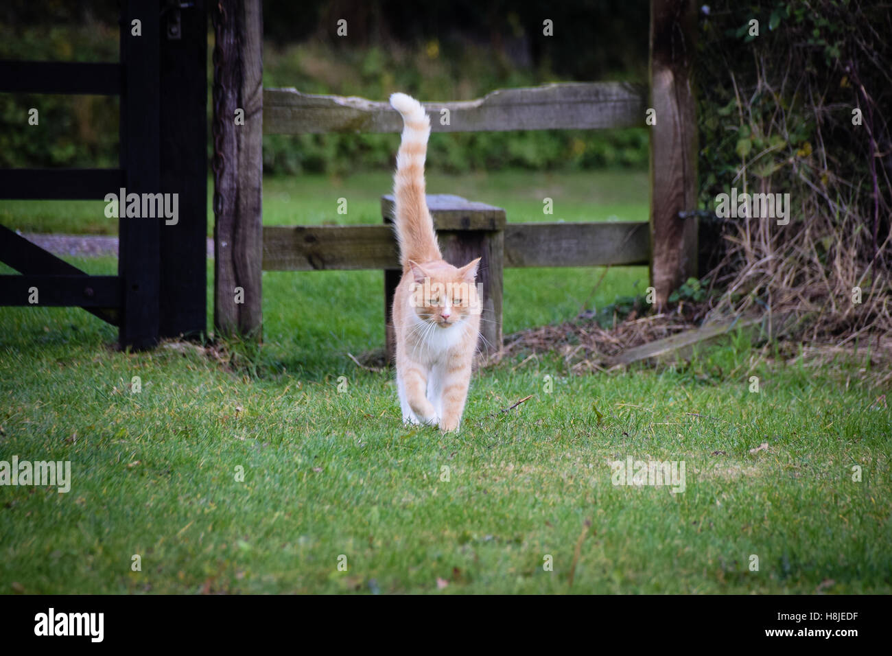 Cat walking across a field with tail in greeting pose - Stock Image
