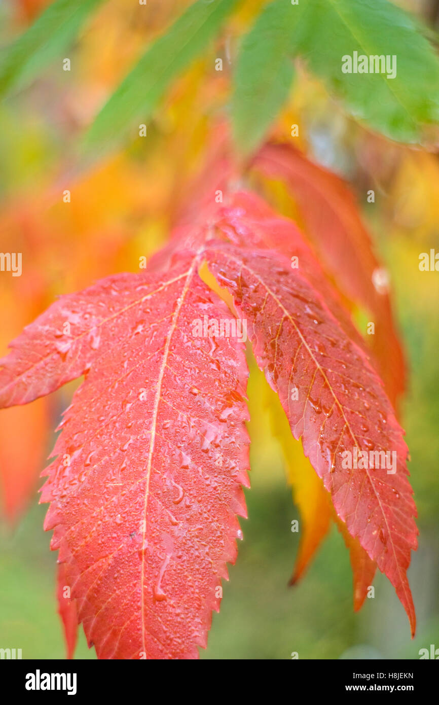 The vivid autumn colors of the Rhus Typhina or Stag Horn Sumach. - Stock Image